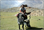 Yak Safari, Jammu and Kashmir